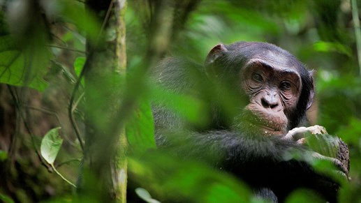 Chimpansees in het Kibale National Park